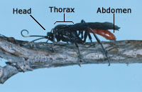 Insect morphology. Head, thorax, abdomen.