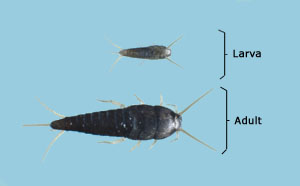 Insects without metamorphosis (ametabolous). Larva and adult.