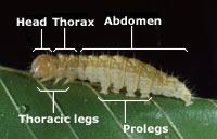 Insect morphology. Head, thorax, abdomen, thoracic legs and prolegs.