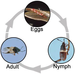 Insects with incomplete metamorphosis. Eggs, nymph and adult