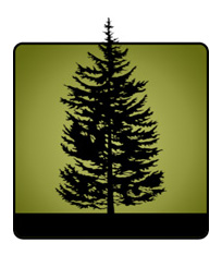 Identify a conifer tree