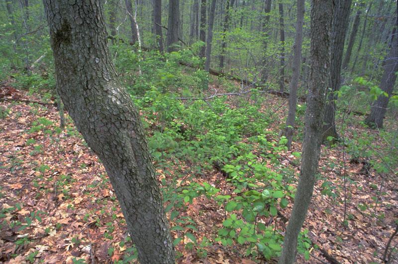 Eastern flowering dogwood