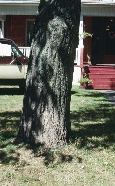 American chestnut