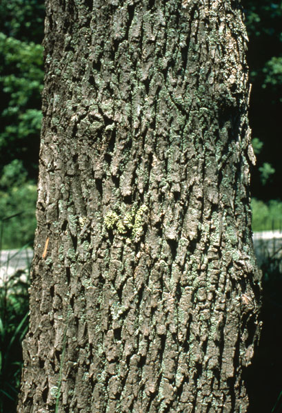 Northern red ash