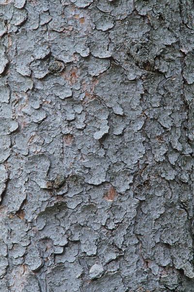 White spruce