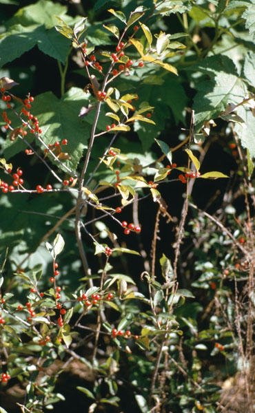 Common winterberry