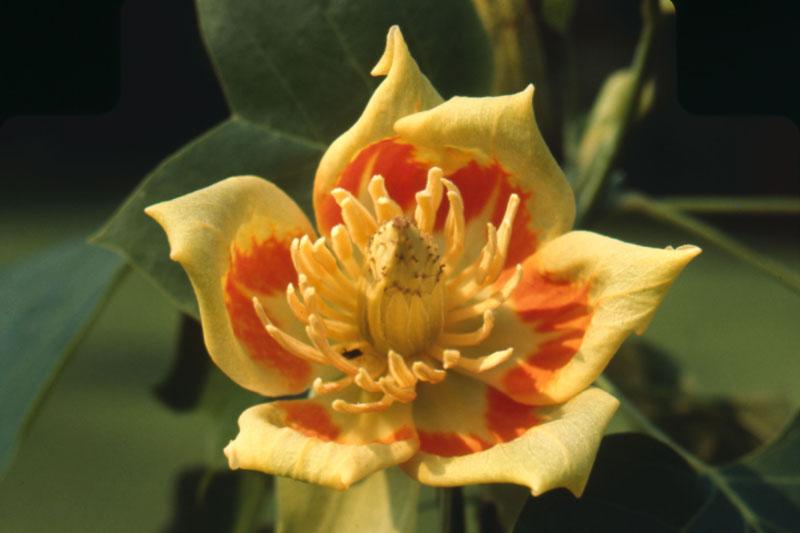 Tulip-tree
