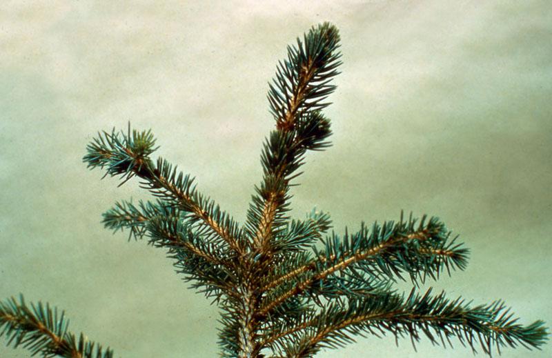 Black spruce