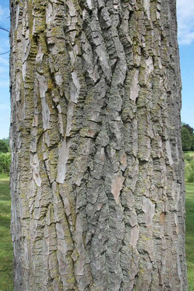 Plains cottonwood