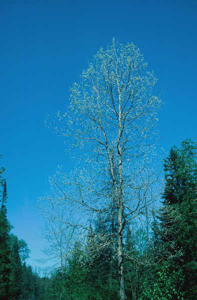 Largetooth aspen