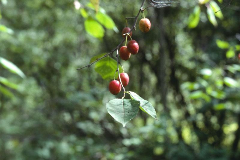 Canada plum