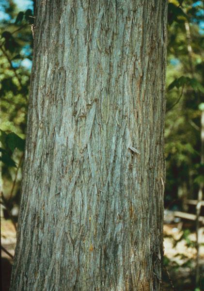 Eastern white-cedar