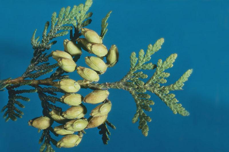 Cedars / arborvitae / thujas