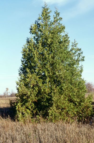 Eastern Cedar Tree ~ Eastern white cedar