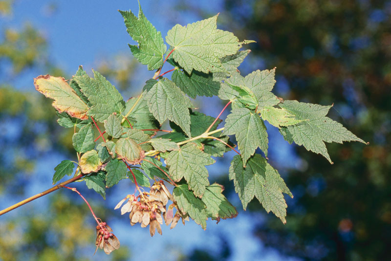 Mountain maple