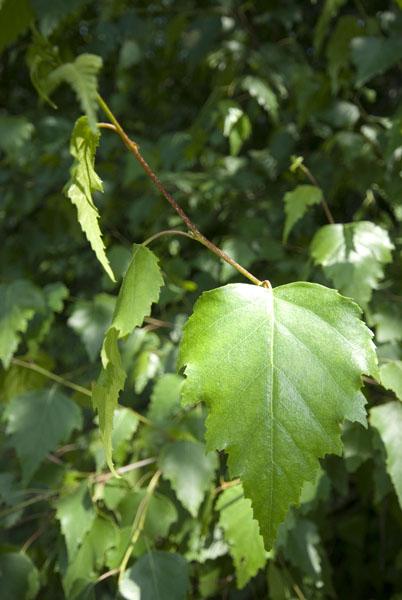Grey birch