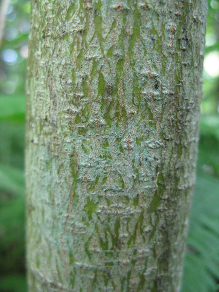 Alternate-leaf dogwood