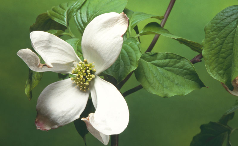 Eastern flowering dogwood