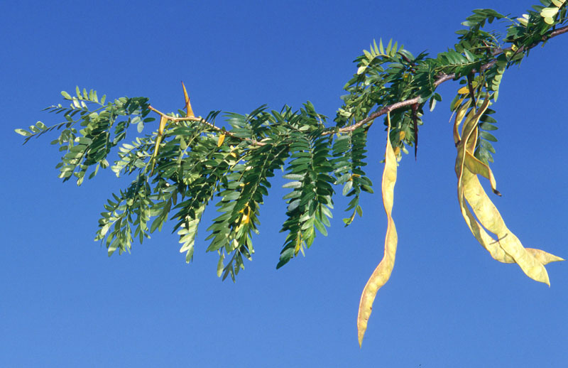 Honey-locust
