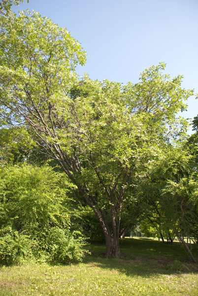 Common hoptree