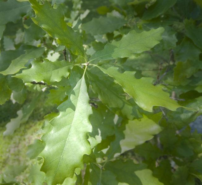 Dwarf chinquapin oak
