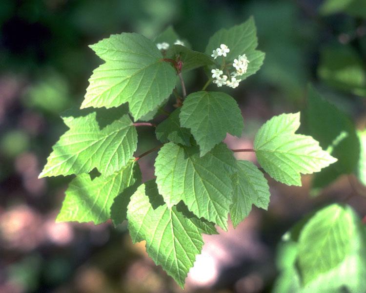 Squashberry viburnum
