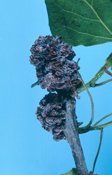 Poplar bud gall mite - Damage