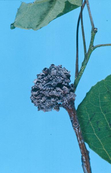 Poplar bud gall mite
