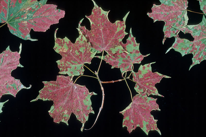 Crimson erineum mite - Infested sugar maple leaves
