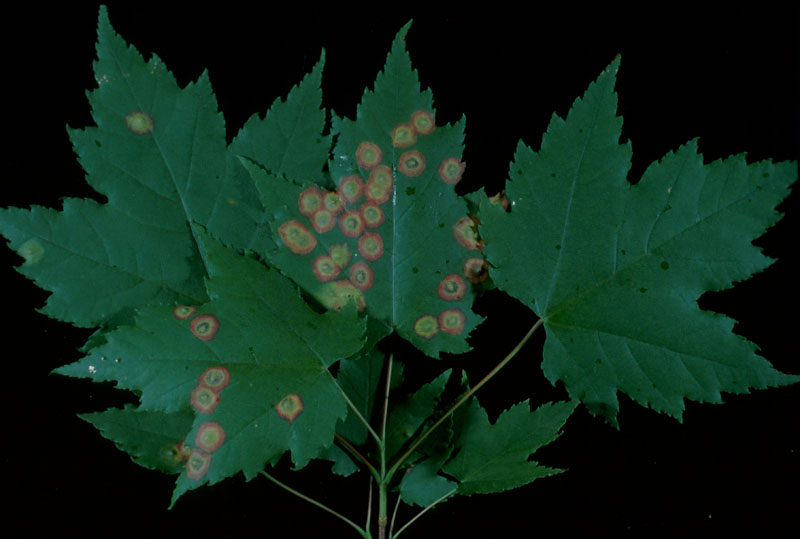 Ocellate gall midge - Maple leaves attacked by this insect