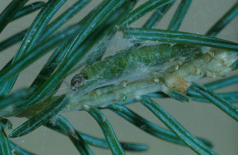 Eastern blackheaded budworm - Mature larva in silken shelter on foliage