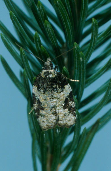 Eastern blackheaded budworm