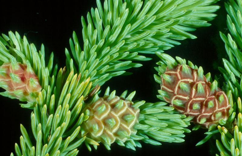 Eastern spruce gall adelgid