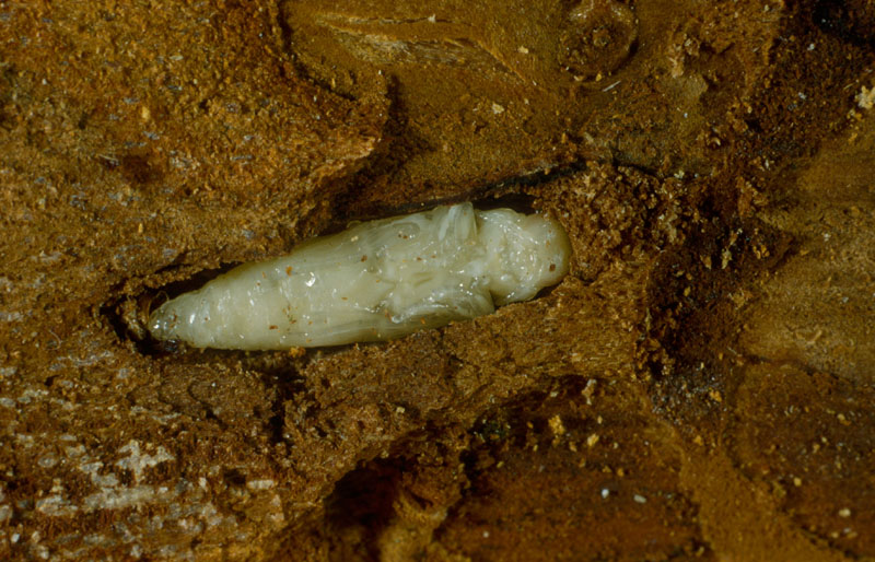 Bronze birch borer - Pupa in its cell