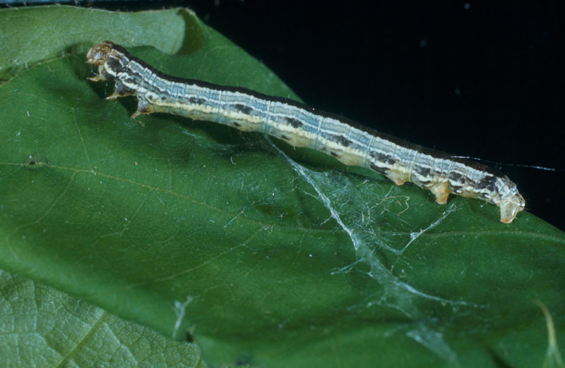 Fall cankerworm - Side view of a dark-coloured caterpillar giving a clearer view of the third pair of prolegs