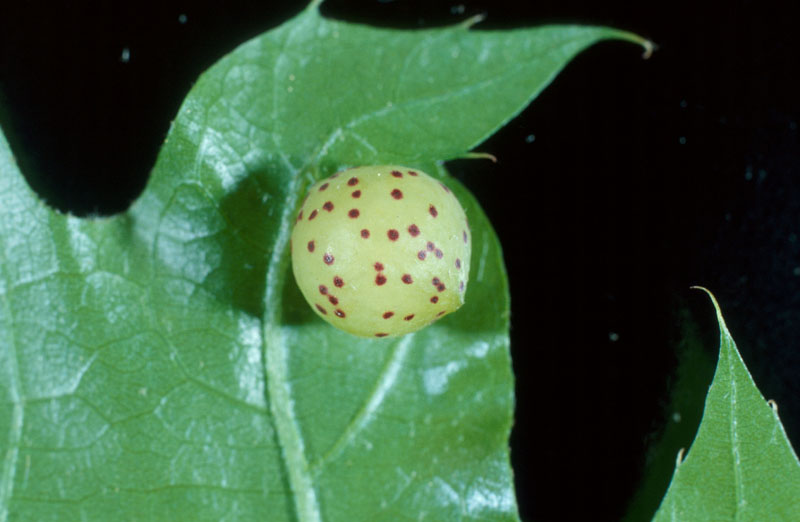 Large oakapple gall - Appearance gall early in the season, under an oak leaf