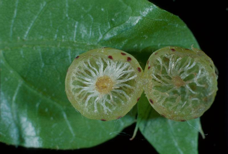 Large oakapple gall