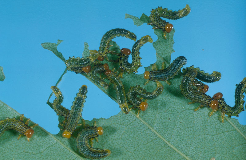 Birch sawfly - Colony of young larvae on a white birch leaf