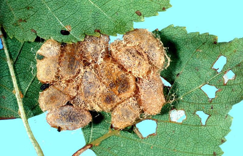 Birch sawfly