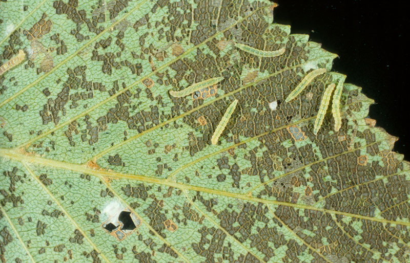 Birch skeletonizer - Young larvae and their damage on a white birch leaf