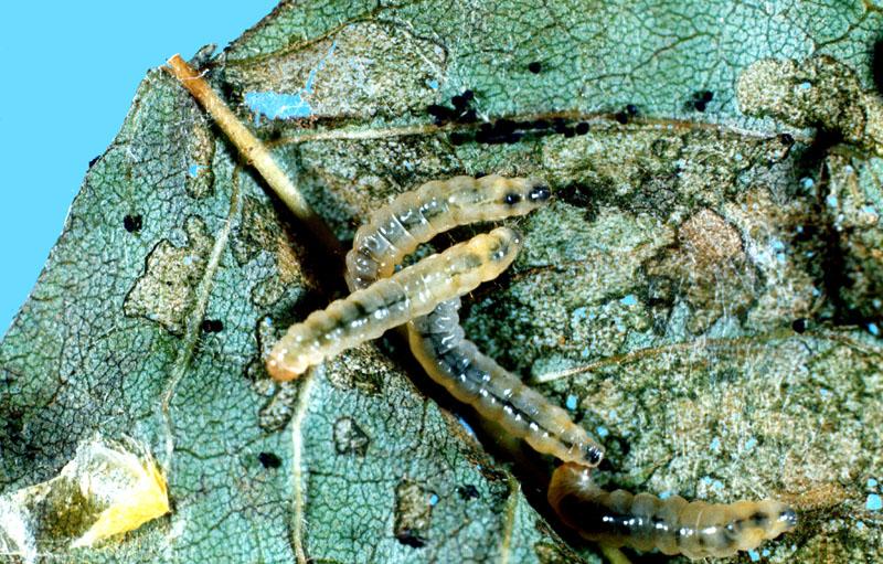 Lilac leafminer - Larva