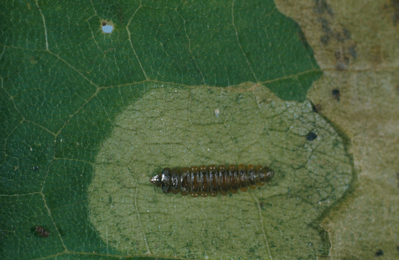 Maple leafblotch miner - Dorsal view of a larva in its mine