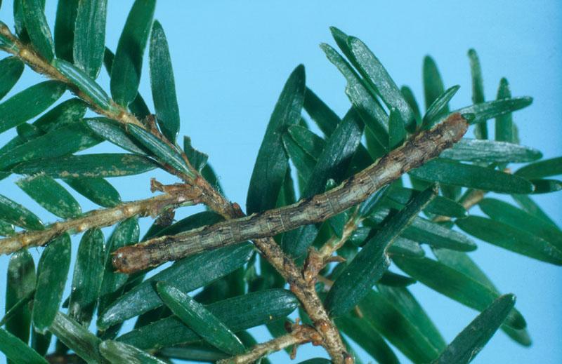 Gray spruce looper