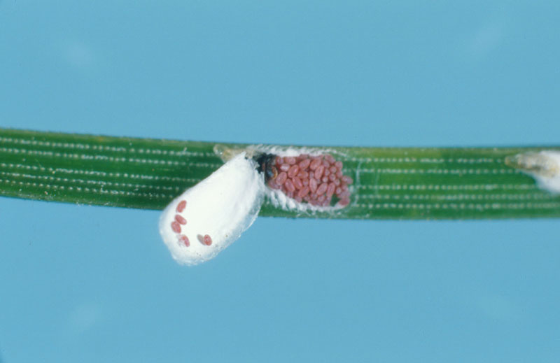 Pine needle scale - Scale content: eggs