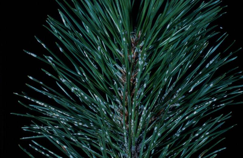 Pine needle scale