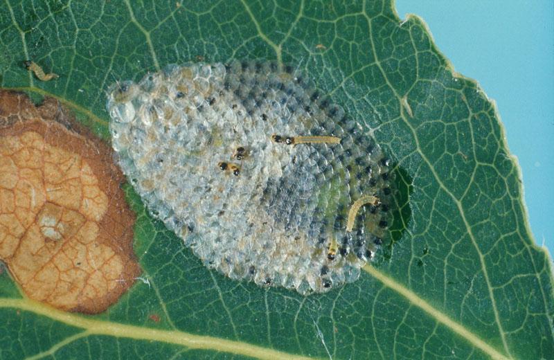 Large aspen tortrix