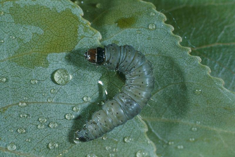 Large aspen tortrix - Mature larva (length: 15-25 mm)