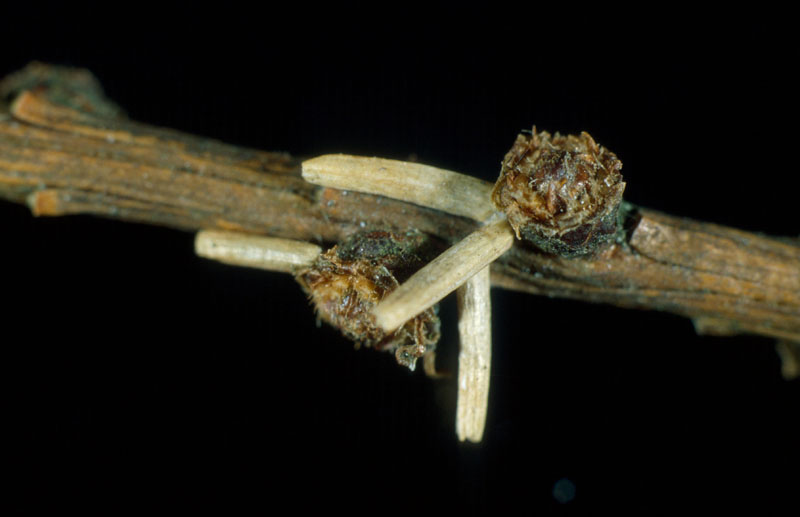 Larch casebearer - Cases fastened to a twig after needle drop in the fall