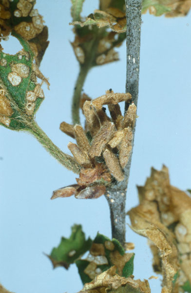 Birch casebearer - Mass of cases on white birch foliage before emergence of adult in June