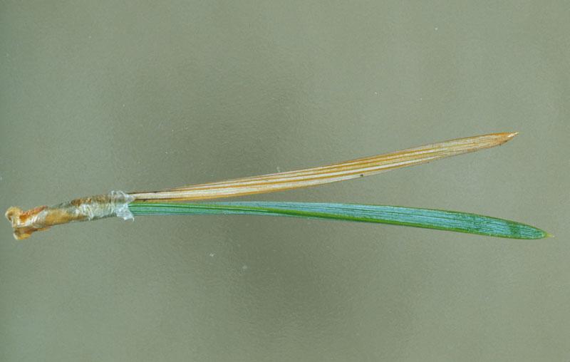 European pineneedle midge